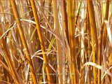 Carex buchananii 'Firefox'   Rode zegge, Zegge   Buchanans braunrote Segge