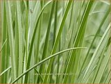 Carex buchananii 'Green Twist' | Rode zegge, Zegge | Buchanans braunrote Segge