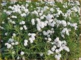 Achillea ptarmica 'Perry's White' | Hemdsknoopjes, Bertram, Duizendblad | Bertrams-Garbe
