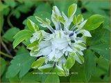 Anemone nemorosa 'Monstrosa'   Bosanemoon, Anemoon   Busch-Windröschen