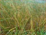 Carex calotides   Zegge   Segge