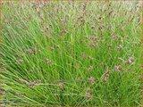Carex davalliana | Veenzegge, Zegge | Davalls Segge