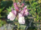 Linaria purpurea 'Dial Park' | Vlasleeuwenbek | Purpurblühendes Leinkraut
