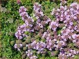 Thymus praecox 'Minor' | Kruiptijm, Tijm | Frühblühender Thymian