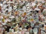 Thymus praecox 'Pseudolanuginosus'   Woltijm, Kruiptijm, Tijm   Frühblühender Thymian