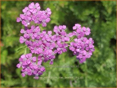 Achillea millefolium 'Lilac Beauty' | Duizendblad | Gewöhnliche Schafgarbe