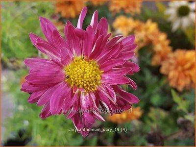 Chrysanthemum 'Oury' | Tuinchrysant, Chrysant | Chrysantheme