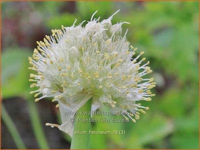 Allium fistulosum | Stengelui, Grove bieslook, Pijplook, Look | Winterzwiebel