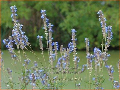 Salvia uliginosa 'Ballon Azul' | Salie, Salvia | Moor-Salbei
