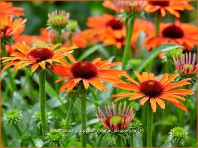 roter sonnenhut echinacea purpurea 39 orange skipper. Black Bedroom Furniture Sets. Home Design Ideas