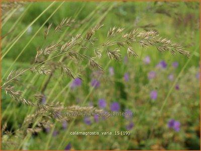 Calamagrostis varia | Struisriet