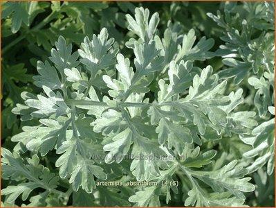 Artemisia absinthium   Absintalsem, Alsem, Bijvoet, Edelruit