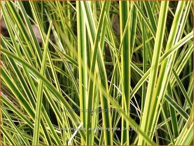 Carex brunnea 'Aureomarginata' | Zegge