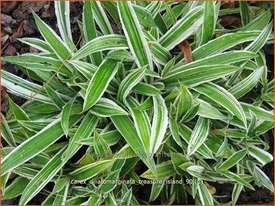 Carex ciliatomarginata 'Treasure Island' | Japanse zegge, Zegge