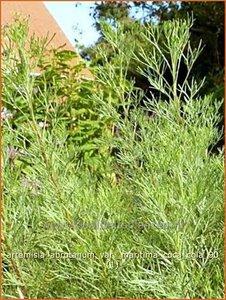 Artemisia abrotanum var. maritima 'Coca Cola' | Alsem, Bijvoet, Edelruit