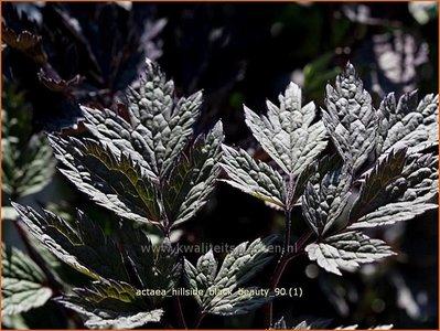 Actaea 'Hillside Black Beauty' | Zilverkaars, Christoffelkruid