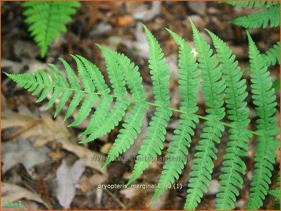 Dryopteris marginalis | Niervaren