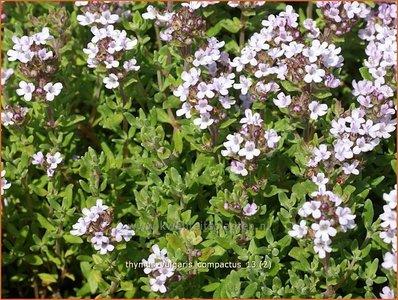 Thymus vulgaris 'Compactus' | Kruiptijm, Tijm