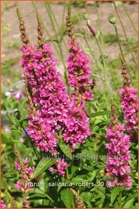 Lythrum salicaria 'Robert' | Kattestaart