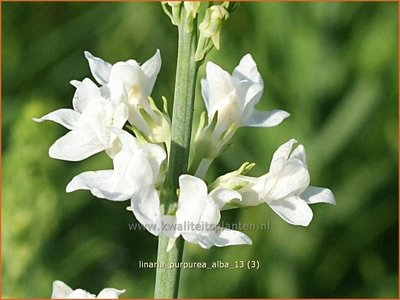Linaria purpurea 'Alba' | Vlasleeuwenbek