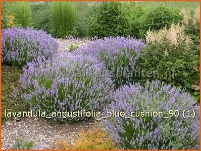 echter lavendel lavandula angustifolia 39 blue cushion 39 schmalbl ttriger lavendel kaufen. Black Bedroom Furniture Sets. Home Design Ideas