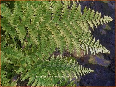 Dryopteris filix-mas 'Barnesii' | Niervaren, Mannetjesvaren