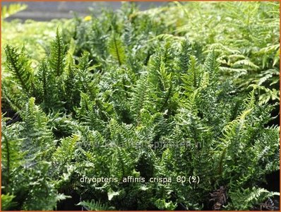 Dryopteris affinis 'Crispa' | Geschubde mannetjesvaren