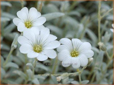 Cerastium tomentosum   Hoornbloem