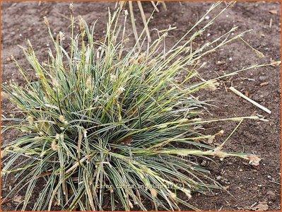 Carex conica 'Snowline' | Zegge