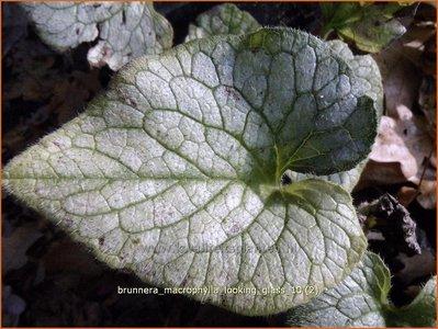 Brunnera macrophylla 'Looking Glass'   Kaukasische vergeet-mij-nietje