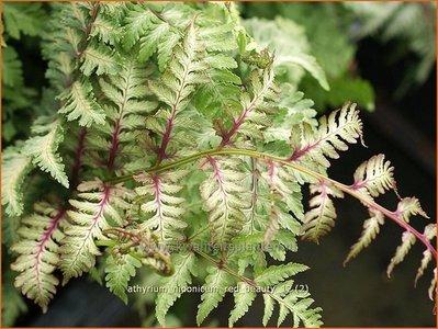 Athyrium niponicum 'Red Beauty' | Japanse regenboogvaren