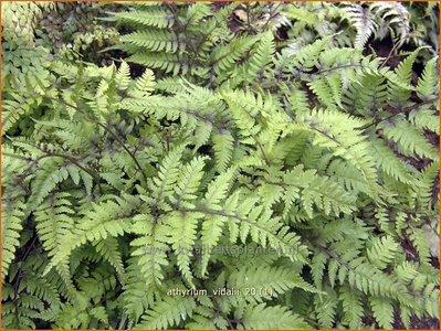 Athyrium vidalii | Wijfjesvaren