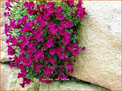 Aubrieta 'Red Carpet' | Rijstebrij, Randjesbloem, Blauwkussen