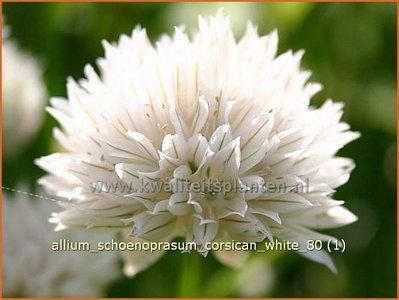 Allium schoenoprasum 'Corsican White' | Bieslook