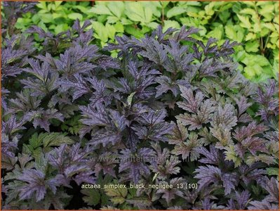 Actaea simplex 'Black Negligee'   Zilverkaars, Christoffelkruid