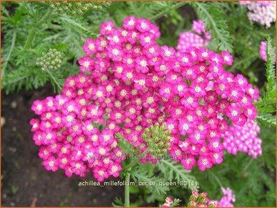 Achillea millefolium 'Cerise Queen' | Duizendblad