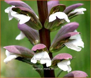 Acanthus mollis   Stekelige berenklauw