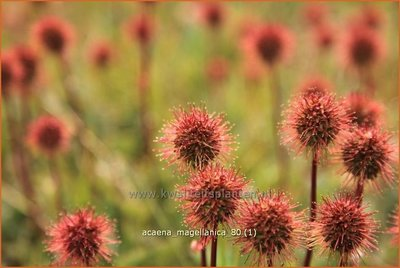 Acaena magellanica | Stekelnootje