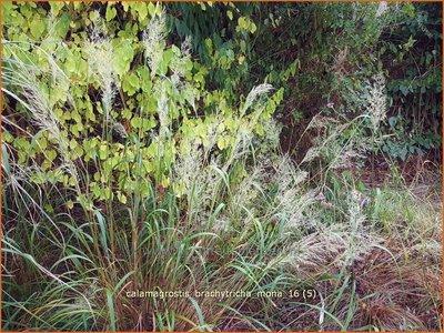 Calamagrostis brachytricha 'Mona' | Diamantgras, Struisriet | Diamant-Reitgras