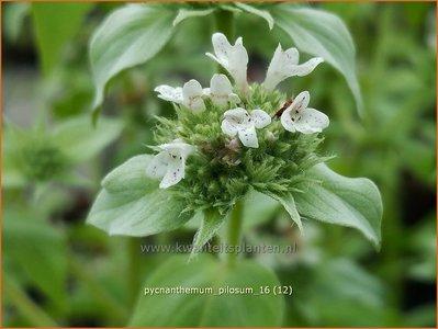 Pycnanthemum pilosum | Bergmunt | Behaarte Scheinbergminze