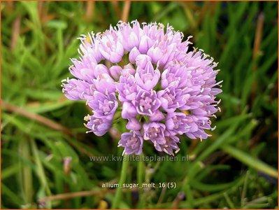 Allium 'Sugar Melt'   Sierui, Look   Lauch