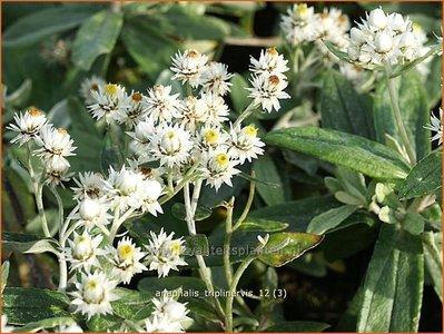 Anaphalis triplinervis | Siberische edelweiss, Witte knoop | Himalaya-Perlkörbchen