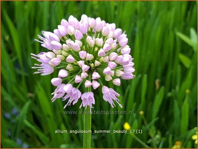 Allium angulosum 'Summer Beauty'   Kantlook, Look   Kanten-Lauch