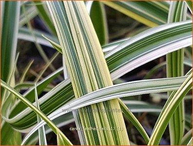 Carex 'Feather Falls'   Zegge   Segge