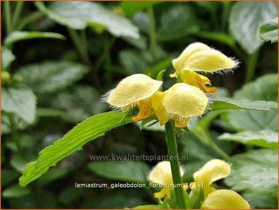 Lamiastrum galeobdolon 'Florentinum' | Gevlekte gele dovenetel, Dovenetel | Echte Goldnessel