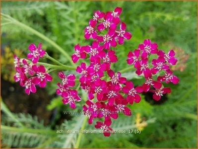 Achillea millefolium 'Sammetriese'