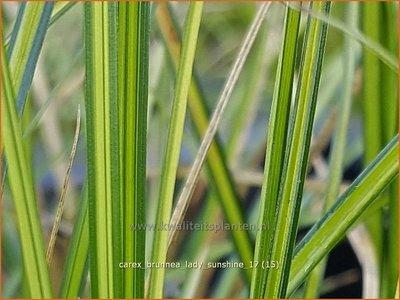 Carex brunnea 'Lady Sunshine' | Zegge | Bräunliche Segge