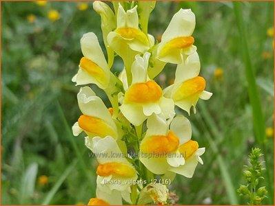 Linaria vulgaris | Vlasbekje, Vlasleeuwenbekje | Gewöhnliches Leinkraut