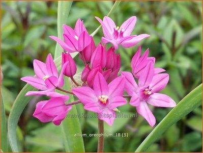 Allium oreophilum | Roze knuffeltjes, Sierui, Look | Asiatischer Berg-Lauch