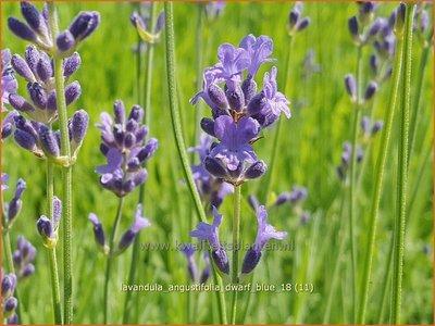 Lavandula angustifolia 'Dwarf Blue' | Gewone lavendel, Echte lavendel, Lavendel | Echter Lavendel